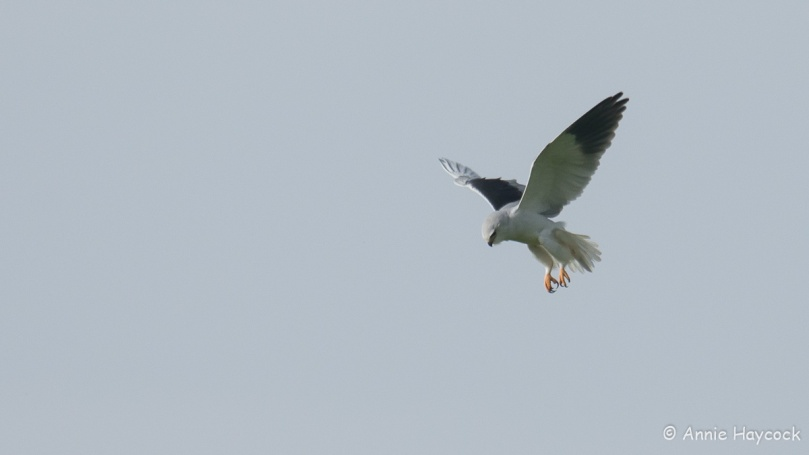 Bird hovering in the Algarve