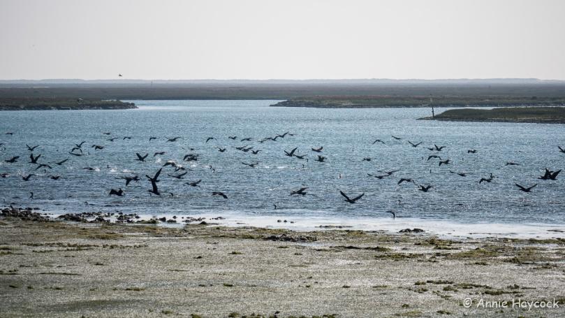 Cormorants at Faro