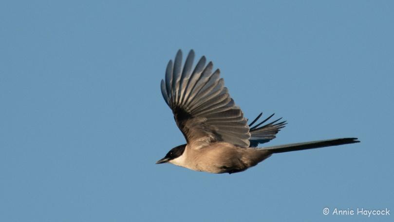 Iberian magpie in flight